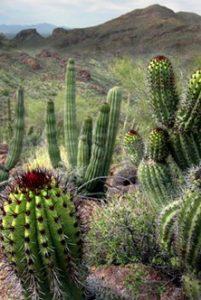 Arizona Cactus1