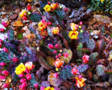 Purple Prickly Pear In Bloom1